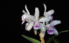 Cattleya intermedia orlata coerulea