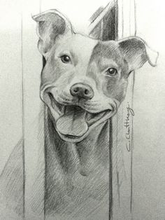 pitbull drawing by Chattravadee