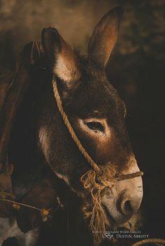 The Donkey of Bethlehem by Dustin Abbott on Cute Donkey, A Donkey, Sunshine And Whiskey, My Sunshine, Farm Animals, Cute Animals, Wild Animals, Funny Animals, Christmas Donkey