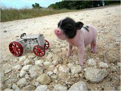 Mini Pigs <3