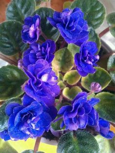 Rob's Denim Demon - one of my new African violets
