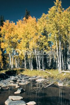 Birch trees along a stream, Cedar Breaks National Monument, Utah, USA
