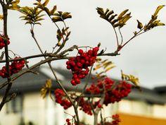 Winter BerriesJoseph Ferri http://castagiantshadow.co/objects/i4t5vqkfd4b8ewz7d2lhwllfsmqpil