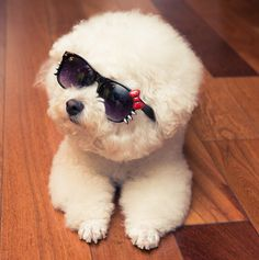 Bichon called Bruce looks cool in shades Teacup Puppies, Cute Puppies, Cute Dogs, Dog Love, Puppy Love, Funny Animals, Cute Animals, Dog Day Afternoon, Group Of Dogs