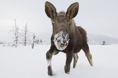 Doug Lindstrand Captive Young Bull Moose In Deep Snow