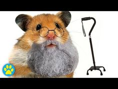 How To Care For An Elderly Hamster - WATCH VIDEO HERE -> http://lovemyagingparents.info/how-to-care-for-an-elderly-hamster     Second Channel Twitter Pinterest Tumblr Instagram Cameras: Canon: Nikon D7000 / Ixus 132 Editing software: Sony Vegas Pro 12 Microphones: Behringer C-1 / Rode VideoMic / microphone on camera Audio software: Audacity Music: YouTube Music Library / EpidemicSound – HAMSTERS OF THE BREED...