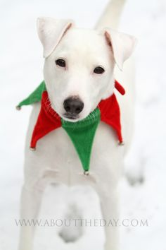 Jack Russell #Terrier #Christmas
