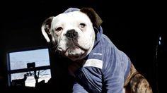 Bentley the bulldog