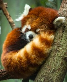 Red panda bear.