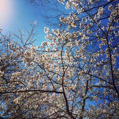 桜,sakura,Cherryblossom.
