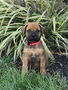 Bullmastiff Puppies for Sale | Lancaster Puppies Bullmastiff Puppies For Sale, Labrador Puppies For Sale, Lancaster Puppies, Dogs, Animals, Animales, Animaux, Doggies, Animais