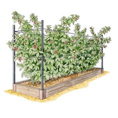 "Our cedar Raspberry Raised Bed is 8' L x 2' W x 7"" H and holds five plants. It…"