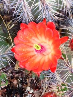 Lovely cactus flower taken this spring