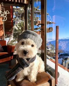 "1,243 Me gusta, 20 comentarios - Ogi The Westie (@ogithechamp) en Instagram: ""It's snow time ❄️ ------------------------------------- #ogithechamp #westie #westy #westies…"""