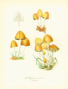 Original print taken from a French 1950' Atlas. Excellent vintage condition. Thick paper. Page size: 22cm x 28.5cm / 8.65 x 11.20 inches.  For more mushroom prints ; www.et... #mycology #antique #botany #drawings