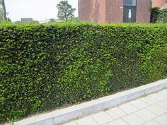 Taxushaag (Taxus baccata) haag
