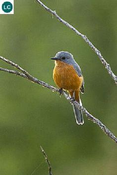 https://www.facebook.com/WonderBirdSpecies/ Silverbird (Empidornis semipartitus); Native to Eastern Africa; IUCN Red List of Threatened Species 3.1 : Least Concern (LC)(Loài ít quan tâm) || Chim bạc; Loài bản địa Đông Phi; HỌ ĐỚP RUỒI CỰU THẾ GIỚI - MUSCICAPIDAE (Old World Flycatchers).