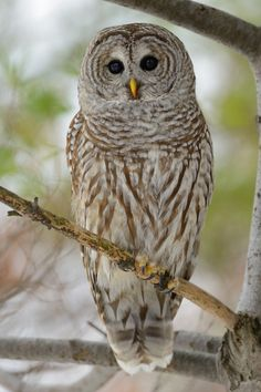 I am pinning this for Amaris Todd. She loves owls.