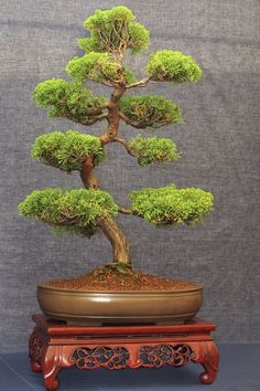 Juniper (Juniperus spp.) is one of the most tried-and-true bonsai plants, even for novice bonsai gardeners. Some junipers are naturally prostrate, such as Juniperus chinensis...