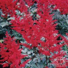 Astilbe japonica 'Red Sentinel'