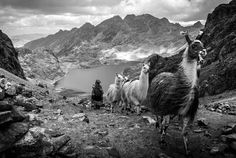 Del místico magnetismo de nuestros pueblos latinoamericanos. | [Llamas del Perú] After a couple of days trekking across the Peruvian Andes, our group had an unusual encounter at 4,600 meters, on top of the narrow, windy, and freezing Huacahuasi Pass. While we had not run into a single soul for days, we had to give way to a flock of llamas and their herder, basically coming out of nowhere. —Antoine Bruneau