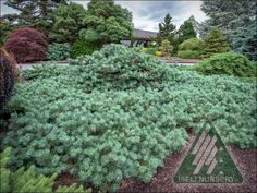 The Amazing World of Conifers Evergreen Garden, Dream Garden, Amazing, Awesome, Landscape Design, Dwarf, Miniature, World, Plants