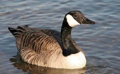 The Canada goose is very majestic because of its size, markings, graceful…