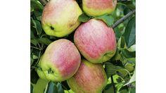 Die beliebtesten alten Apfelsorten | Finkenwerder Herbstprinz