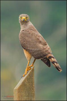 Roadside Hawk (Buteo magnirostris), perched on a piece of wood at Perez Zeledon, Costa Rica, for more visit www.chrisjimenez.net