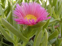 Carpobrotus acinaciformis (Hottentot Fig, Sour Fig, Giant Pigface, Ice Plant) → Plant characteristics and more photos at: http://www.worldofsucculents.com/?p=1221