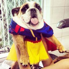 Kira, like Snow White by Uauh! Kira, como Branca de Neve! #uauhbulldogs #igbulldogs_brasil #igbulldogs_worldwide #bulldogs #bullylove #bullylover #bulldogadasp #bulldogbrasil #bulldogclothes #bulldogfashion #bullytroopsgang #bulldogsofinstagram #englishbulldogs #aplacetovedogs #squishyfacecrew #snowwhite #greatest_pets #Padgram