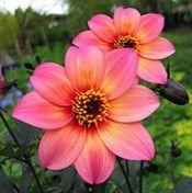 Stunning! New variety of dahlia called mystic fantasy
