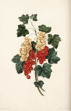 Brookshaw, George / Groups of fruit : accurately drawn and coloured after nature, with full directions for the young artist : designed as a companion to the treatise on flowers and birds (1817)  Currants