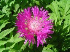Centaurea Dealbata (Persian Cornflower). Ombre légère, Soleil. Juin-Juillet. Rose.  28'' x 20''. Zone 3b. Fleuraison odorante et prolongée, Attire les papillons. Sol plus ou moins riche et meuble, sec. Éviter les sols humides. Cette variété de centaurea peut se naturaliser dans le jardin sans devenir envahissante. Couper les fleurs fanées.