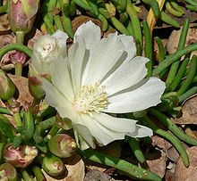Bitterroot - State Flower Small, low plant with pink to white flower, Blooms May and June Named after the flower are the Mountains, Valley and River