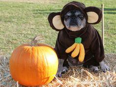 an unhappy monkey - Pugs Halloween