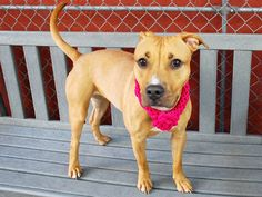 SAFE 6-9-2015 --- RETURNED 5/20/15 TOO ACTIVE --- SAFE 4-29-2015 --- Manhattan Center MIAH – A1032061 *** EXPERIENCED HOME, NO CHILDREN *** FEMALE, BROWN / WHITE, AM PIT BULL TER MIX, 1 yr, 6 mos STRAY – STRAY WAIT, NO HOLD Reason STRAY Intake Date 04/03/2015, From NY 10453, DueOut Date 04/06/2015,