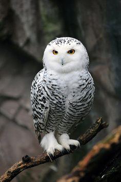 Schneeeule Weibchen (female Snowy Owl) by Michael Döring ~ Haverkamp, Gelsenkirchen, NW, Germany