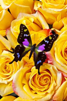 Black and pink butterfly on bunch of yellow roses -very pretty! Papillon Butterfly, Butterfly Kisses, Butterfly Flowers, Butterfly Pictures, Butterfly Quotes, Butterfly Drawing, Butterfly Watercolor, Butterfly Wings, Butterflies Flying