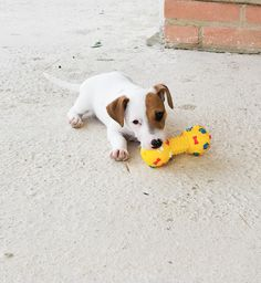 Jack russell terrier puppy, Minu', 2 months, loving her