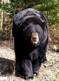 Support the North American Bear Center by sending the wild black bears a care package of their favorite nutty treats. The NABC's mission is to advance the long-term survival of bears worldwide. Unusual Animals, Majestic Animals, Animals Beautiful, Cute Animal Quotes, Cute Animal Pictures, Nature Animals, Animals And Pets, Cute Baby Animals, Funny Animals