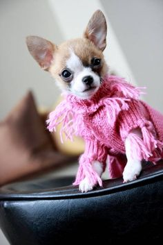 Chihuahua Charlotte looking pretty in pink sweater.