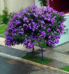 Quaresmeira by Eduardo Mendes Figueiredo Flowering Bonsai Tree, Patio Trees, Nature Tree, Plantar, Colorful Garden, Container Plants, Shade Garden, Amazing Flowers, Beautiful Gardens