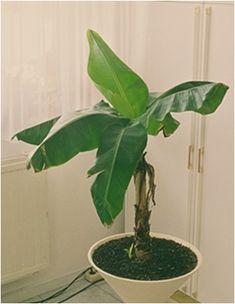 A banánfa a lakásban tágas helyet igényel, mivel elérheti a 2 méteres magasságot, a levelei pedig széltében az egy métert. Elhelyezhetjük télikertben vagy verandán is. Nyáron kitehetjük a szabadba. A sok fényt szereti, a közvetlen napsütést is elviseli, de nyáron a tűző nap megperzselheti a…