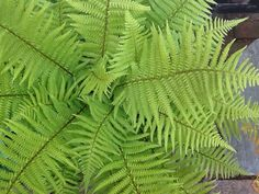 Love ferns - Dryopteris affinis