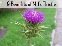 9 Benefits of Milk Thistle