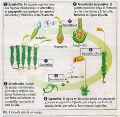 LA REPRODUCCIÓN EN PLANTAS (MUSGOS)
