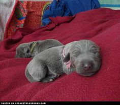 Newborn Blue Lacy
