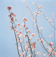 Hello spring - pink blossoms!