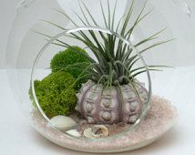 Air Plant Terrarium Kit, Sputnik Sea Urchin with Pink Recycled Glass, Home and Living, Beach Terrarium